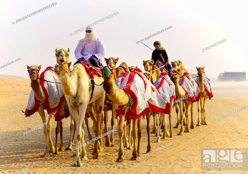 Stock Photo: Each morning, valuable camels are sent near Madinat Zayed Camel Rase Track for training in the Liwa Desert. (20 January 2014) | usage worldwide.