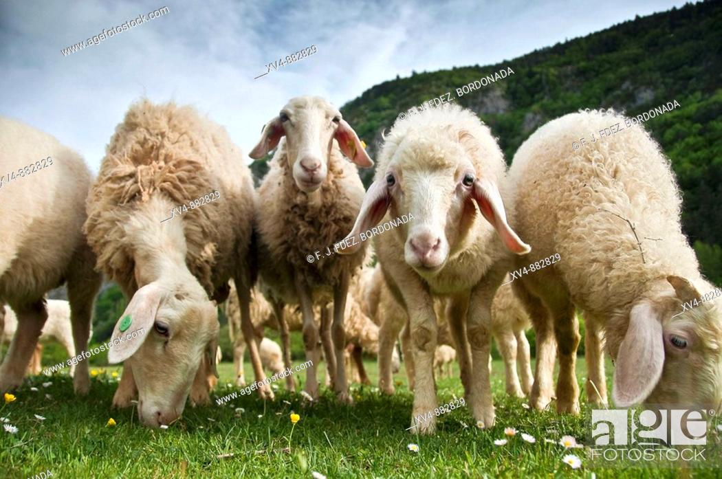 Stock Photo: Assaf sheep, raised for producing milk to make cheese. Ansó, Huesca province, Spain.