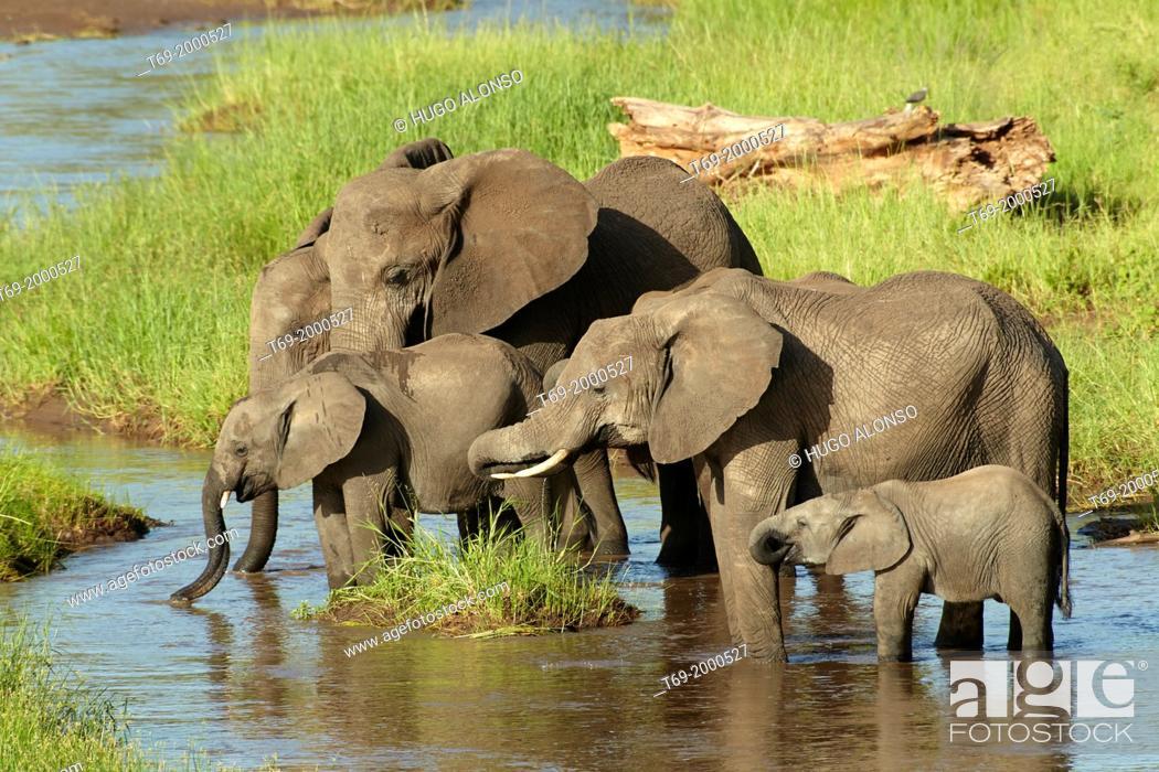 Stock Photo: African elephants drinking water in the morning. Loxodonta africana. Tarangire, Tanzania.