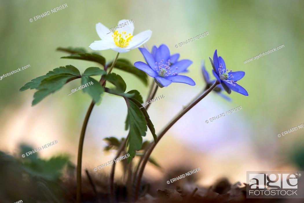 Stock Photo: Windflower (Anemone nemorosa) and liverwort (Hepatica nobilis), North Rhine-Westphalia, Germany.