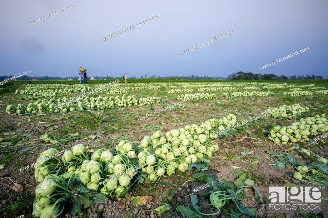 Stock Photo: Rows of harvested kohlrabi vegetables have been laid on the ground.