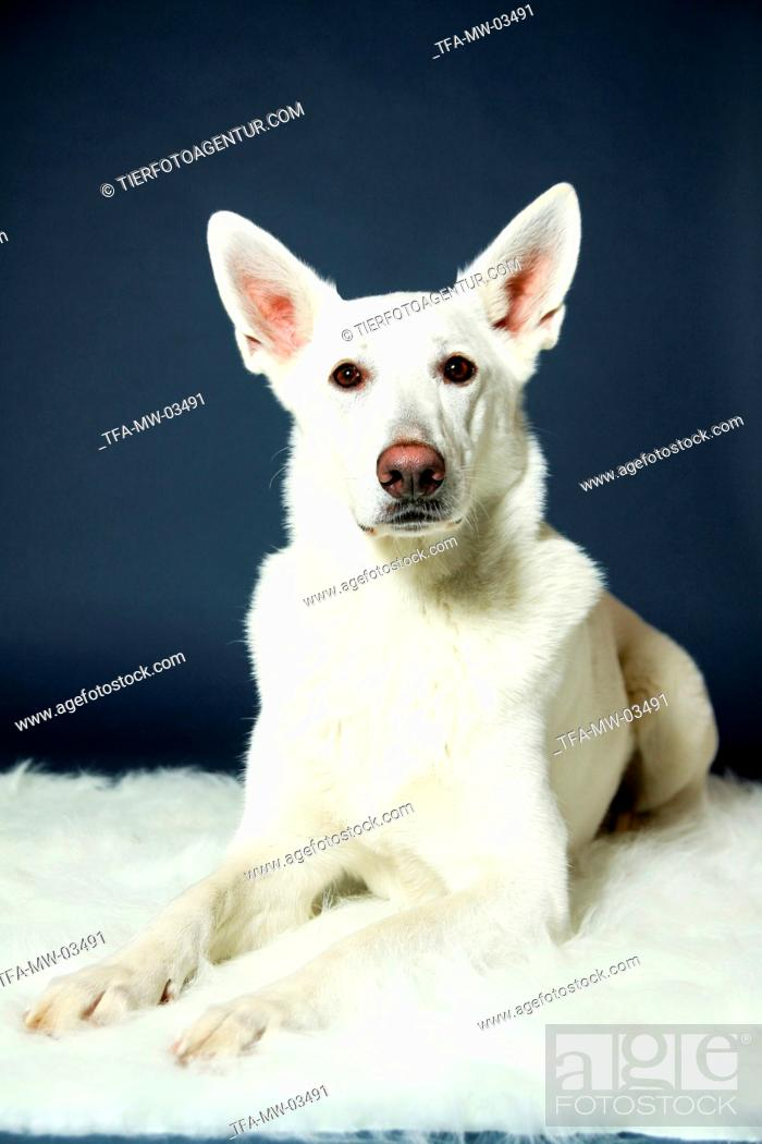 Stock Photo: lying Berger Blanc Suisse.