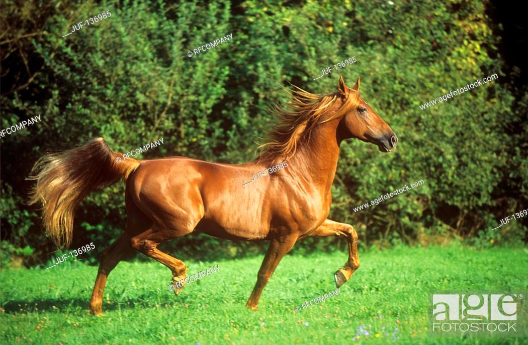 Stock Photo: American Saddleberd - trotting on meadow.