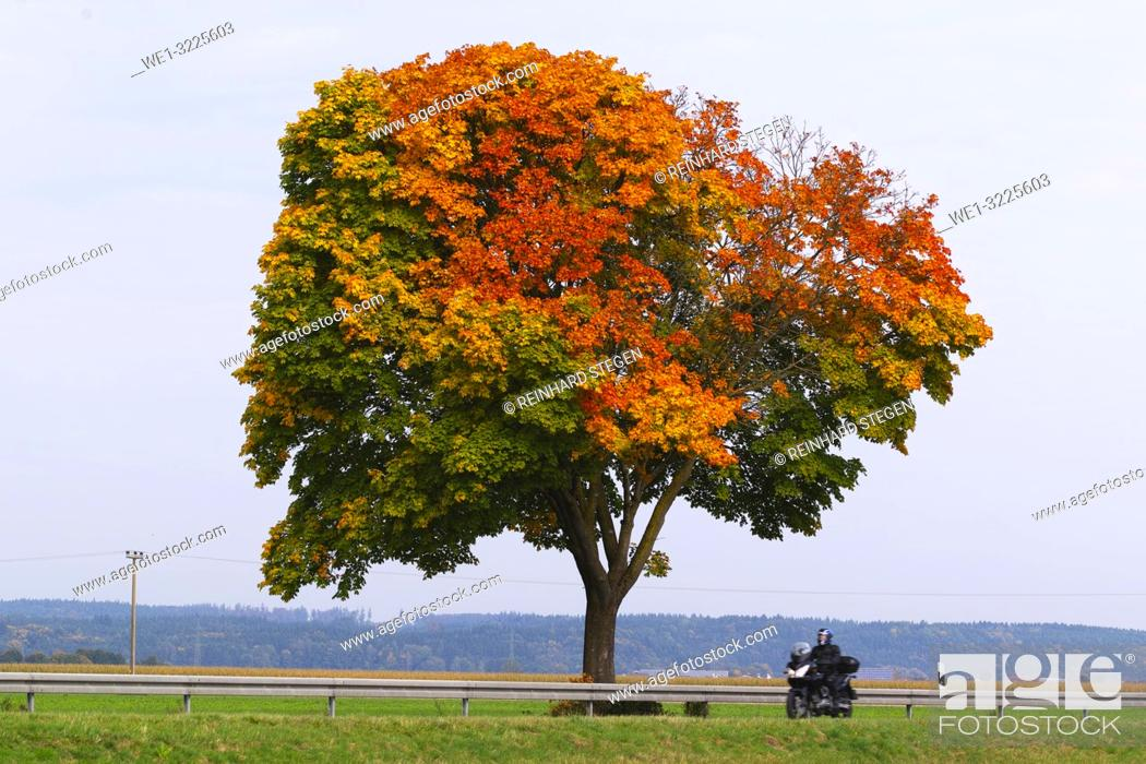 Imagen: tree in autumn, fall colours.