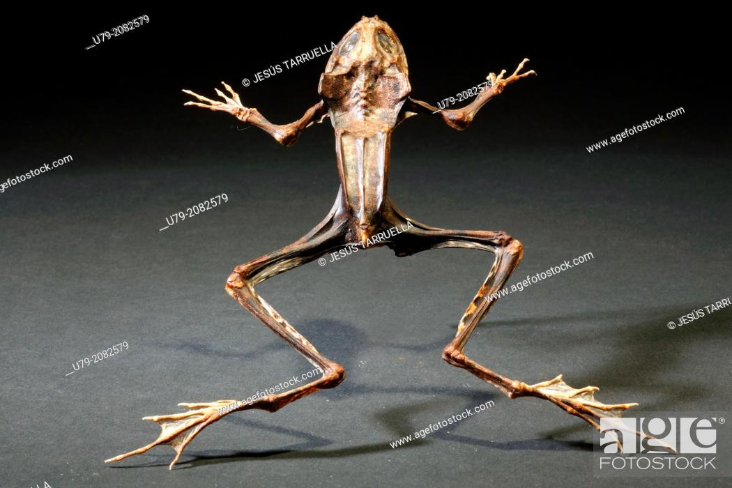 Stock Photo: Still life with mummified dead frog. Studio shot.