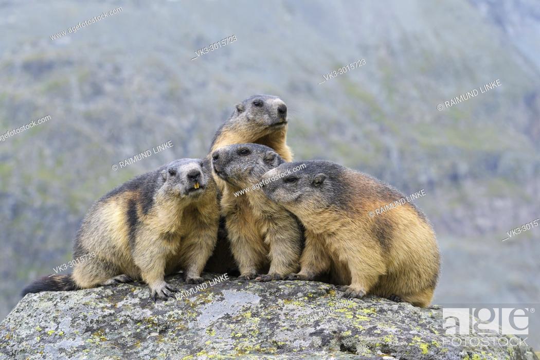 Stock Photo: Alpine Marmot, Marmota marmota, group of animals, Hohe Tauern National park, Austria.