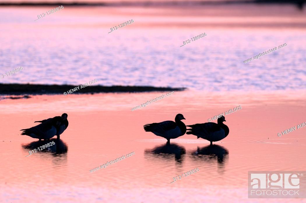 Stock Photo: Barnacle Goose (Branta leucopsis).
