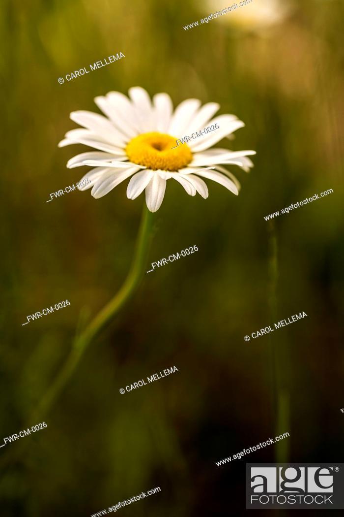 Ox Eye Daisy Leucanthemum Vulgare Single Flower With White Petals