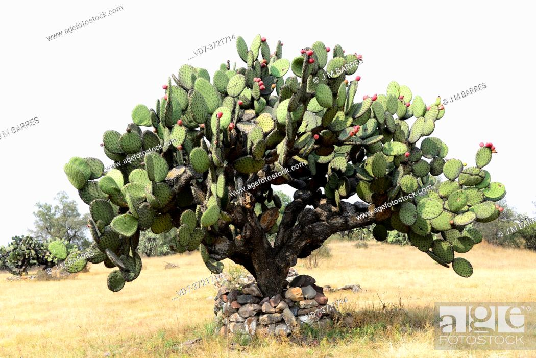 Imagen: Barbary fig or Indian fig opuntia (Opuntia ficus-indica) is a cactus native to Mexico but naturalized in many arid or semiarid region of the World.
