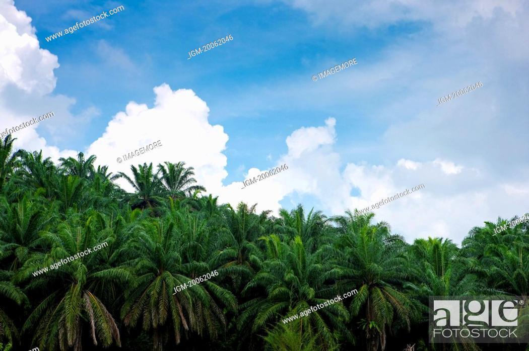 Stock Photo: Malaysia, Palm Tree.