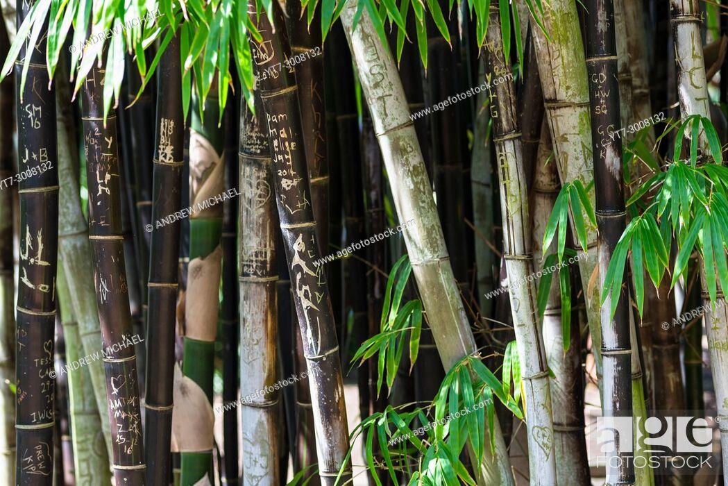Stock Photo: Bamboo at Sydney Botanical gardens, New South Wales, Australia.