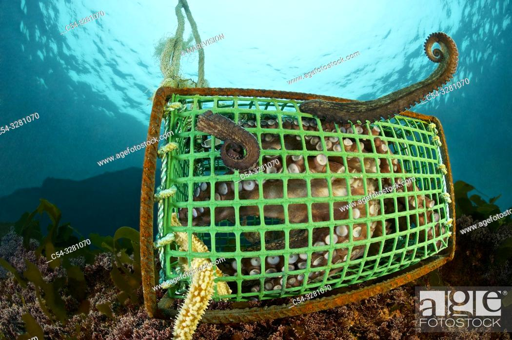 Stock Photo: Professional fishing. Professional octopus traps. . Octopus (Octopus vulgaris). Eastern Atlantic. Galicia. Spain. Europe.
