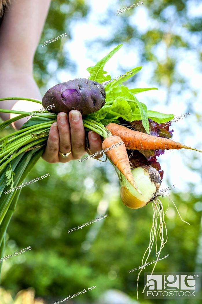 Stock Photo: A partial view of woman gardener holding recently harvested vegetables from the garden.