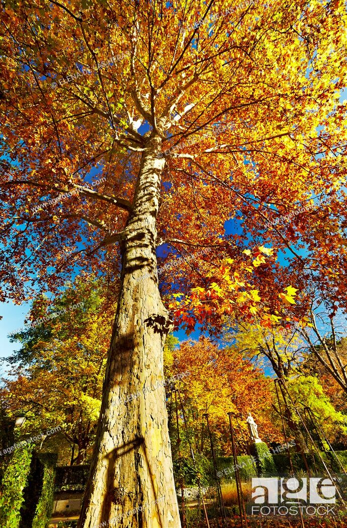 Stock Photo: Plane tree (Platanus x hispanica) in autumn at the Botanical Garden. Madrid. Spain.