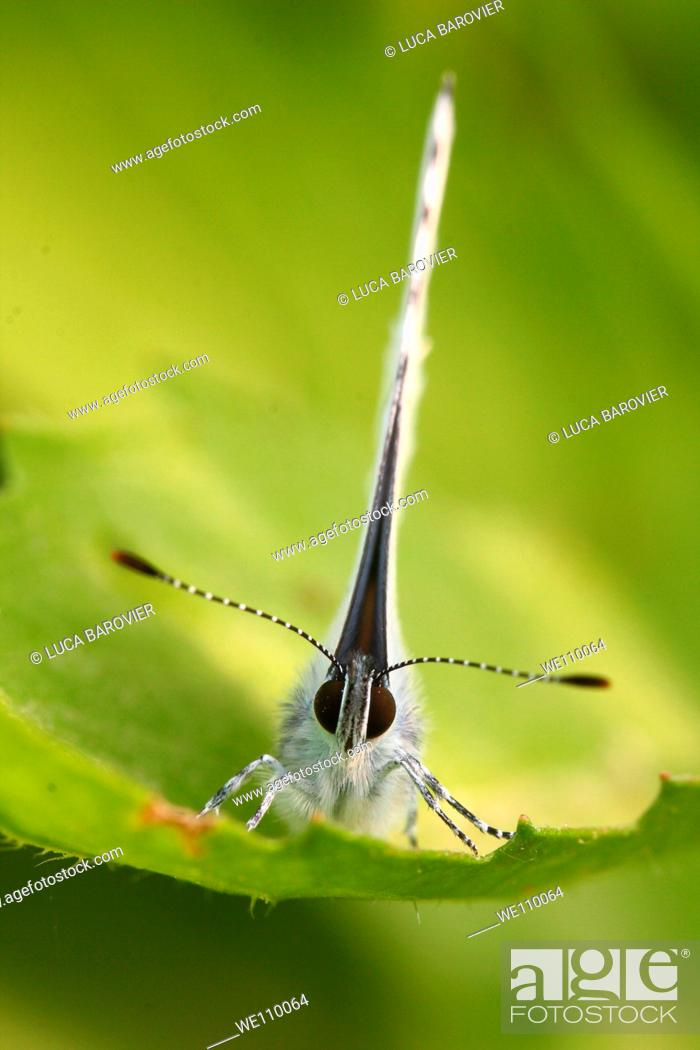 Stock Photo: Pieris rapae - A frontal close-up of white butterfly - Milan, Italy.
