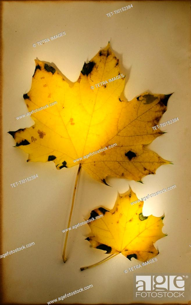 Stock Photo: Autumn leaves, studio shot.