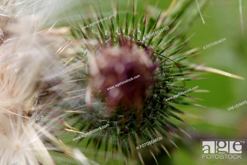 Stock Photo: grossaufnahme, glaubenberg, bergblume, alp, bloom, flower, gluupoog.