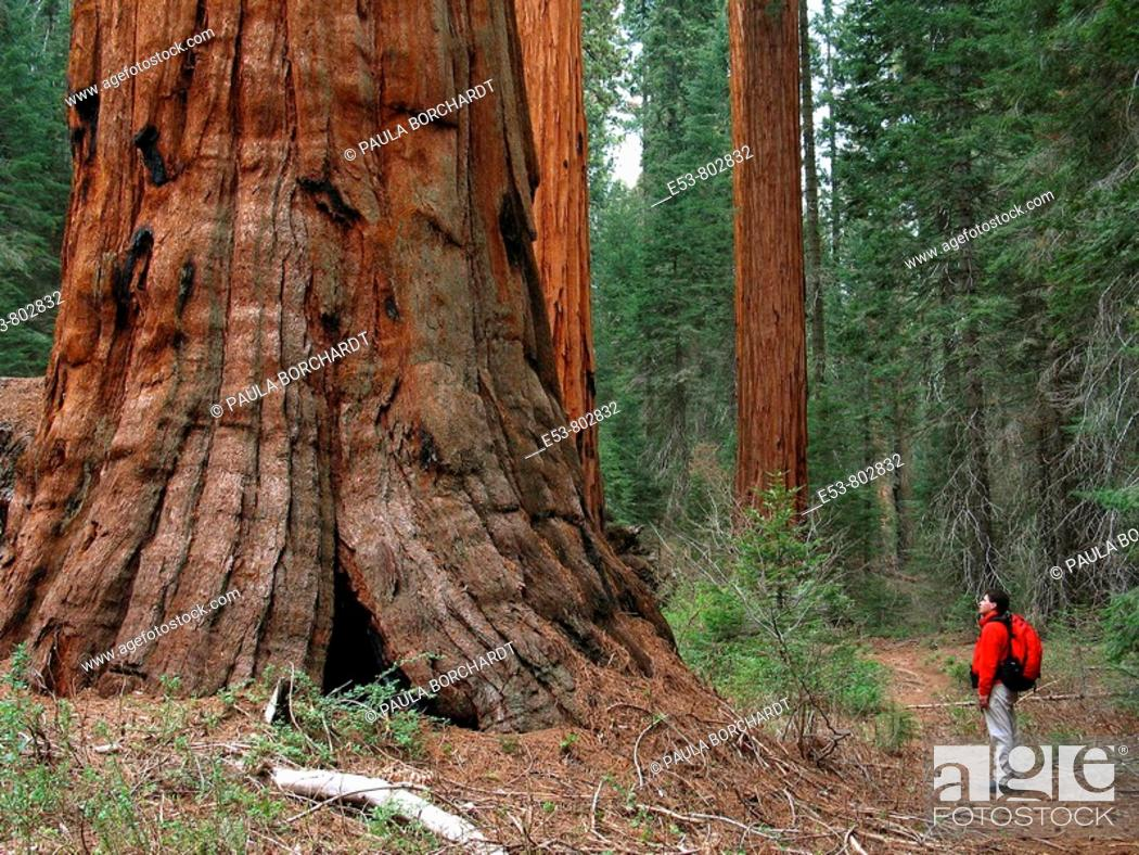 Stock Photo: Hiker, 40s, looking at giant sequoia, Redwood Canyon Trail, Kings Canyon National Park, California, USA.