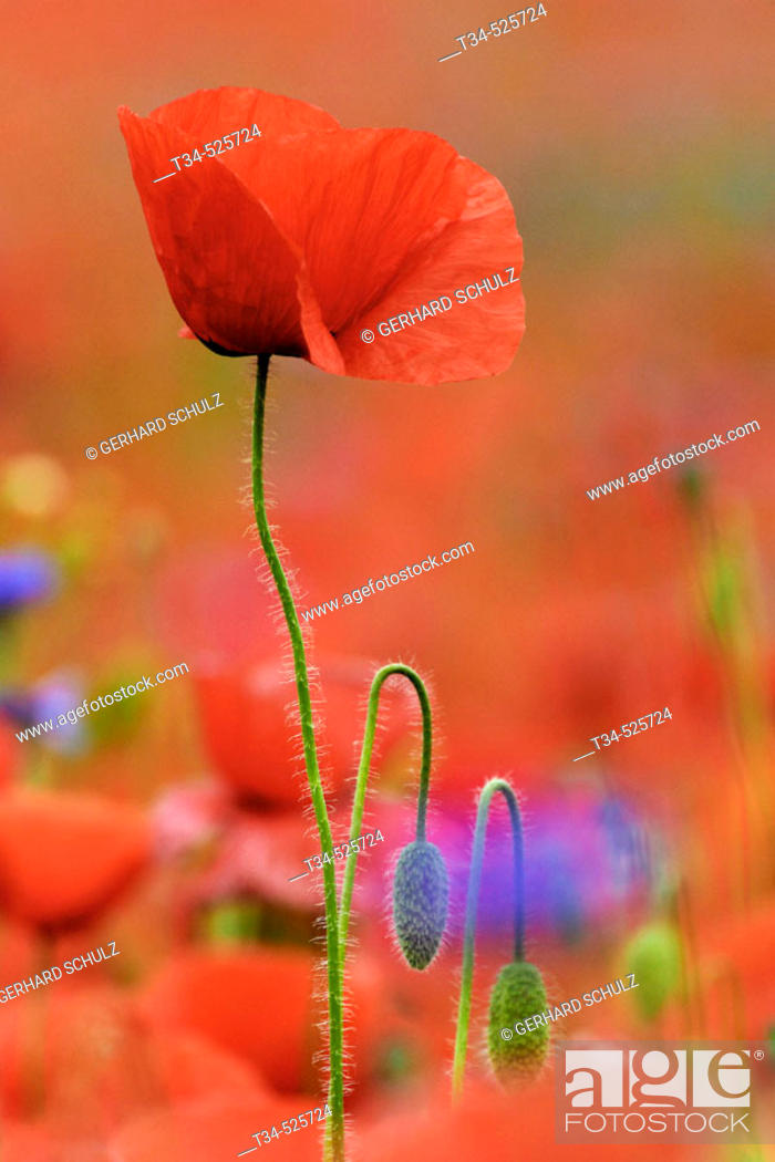 Stock Photo: Common Poppy. Papaver rhoeas. Schleswig-Holstein, Germany.