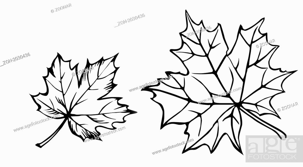 Stock Photo: vector silhouette of the maple leaf on white background.