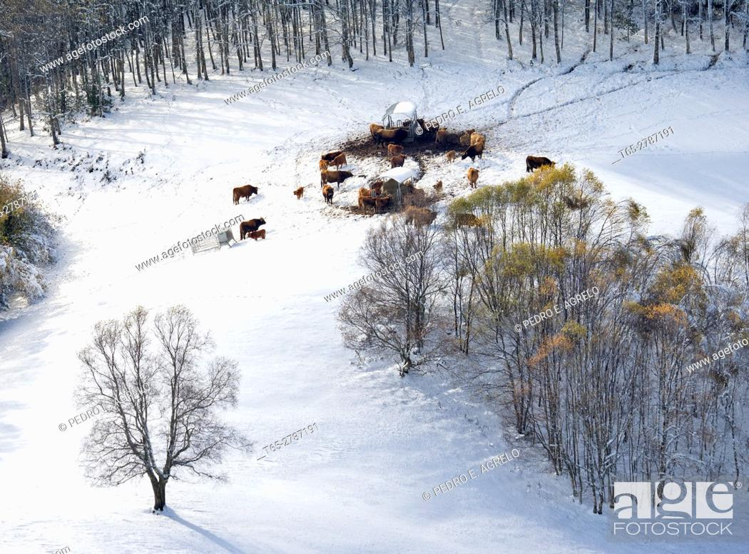 Stock Photo: During the winter months, when snow covers pastures, cattle eat forage. In the image a slope of the mountains of O Courel Lugo snow cover.