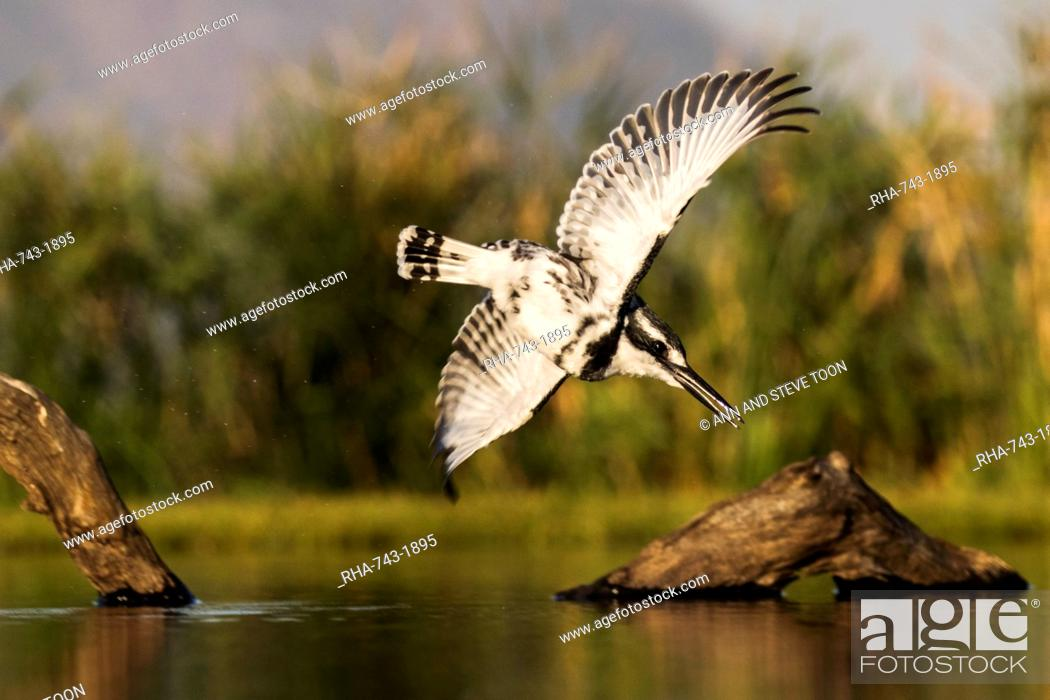Stock Photo: Pied kingfisher (Ceryle rudis) diving, Zimanga private game reserve, KwaZulu-Natal, South Africa, Africa.