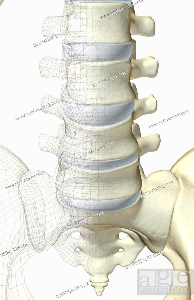 Stock Photo: The bones of lumbar vertebrae.
