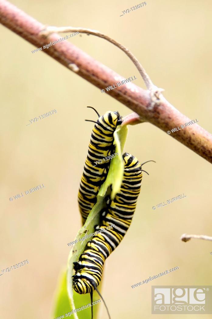 Stock Photo: monarch caterpillars.