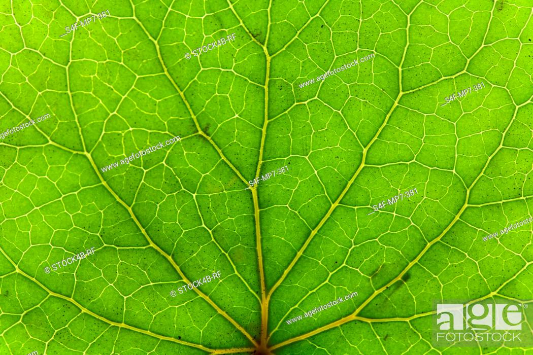 Stock Photo: Detail of a green leaf.