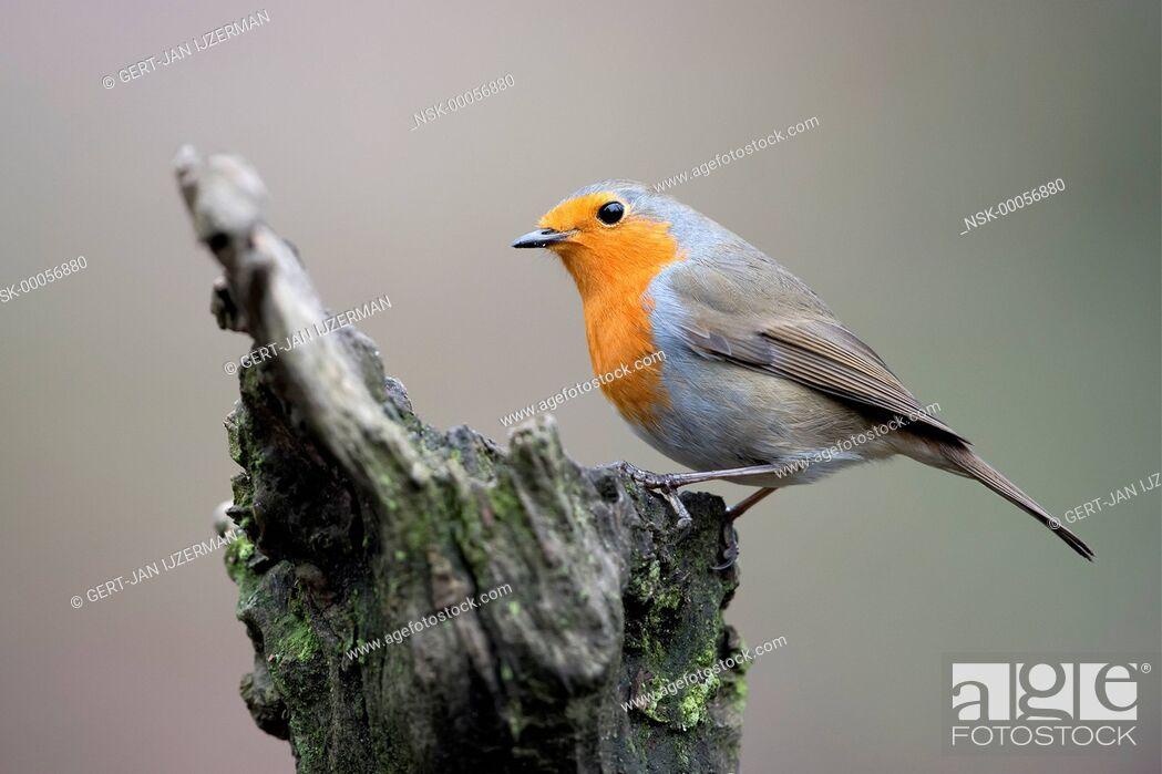 Imagen: Eurasian Robin (Erithacus rubecula) perched on a tree stump, The Netherlands, Gelderland, Veluwe.