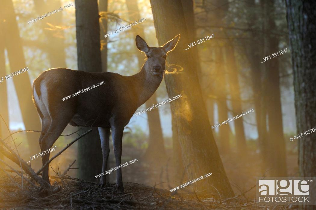 Stock Photo: Red Deer ( Cervus elaphus ), hind, standing at the edge of a forest on a misty morning, wonderful atmospheric backlight, visible breath cloud, Europe.