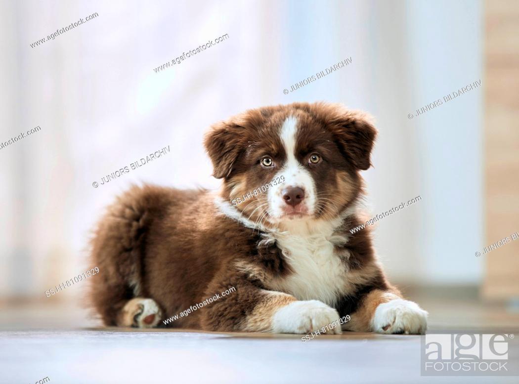 Stock Photo: Australian Shepherd. Puppy lying on a wooden floor. Germany.
