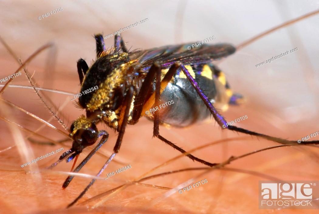 Stock Photo: Mosquito sucking blood  Culex sp , Culicidae, Diptera  2012.