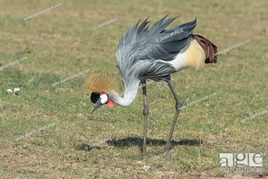 Stock Photo: Crowned Cranes. Balearica regulorum. Masai Mara NP.