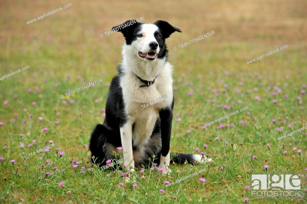 Shorthaired Border Collie Stock Photo Picture And Rights Managed Image Pic Tfa Mr 05039 Agefotostock