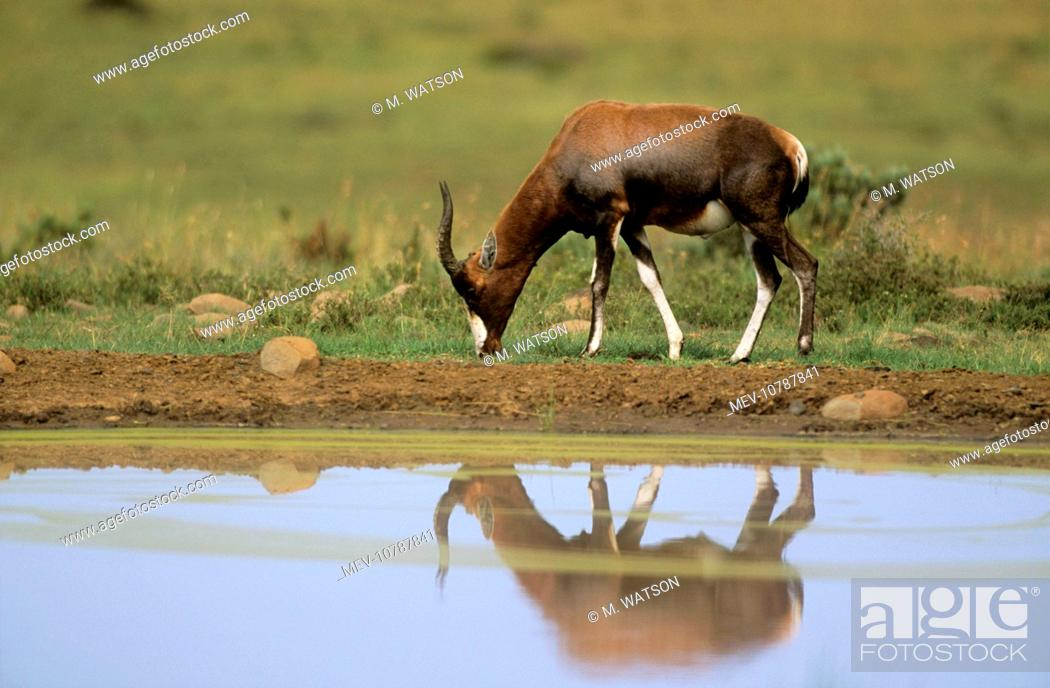 Stock Photo: BLESBOK (Damaliscus dorcas phillipsi).