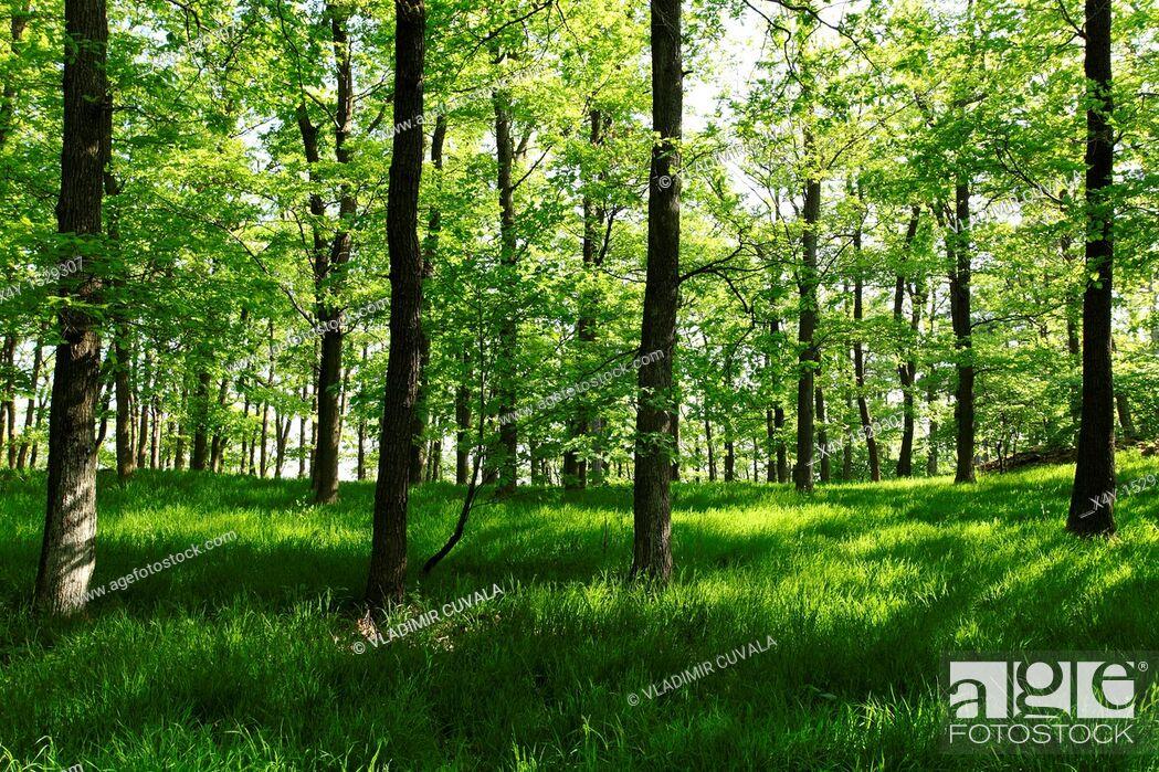 Stock Photo: Male Karpaty's forest near Modra, Slovakia.