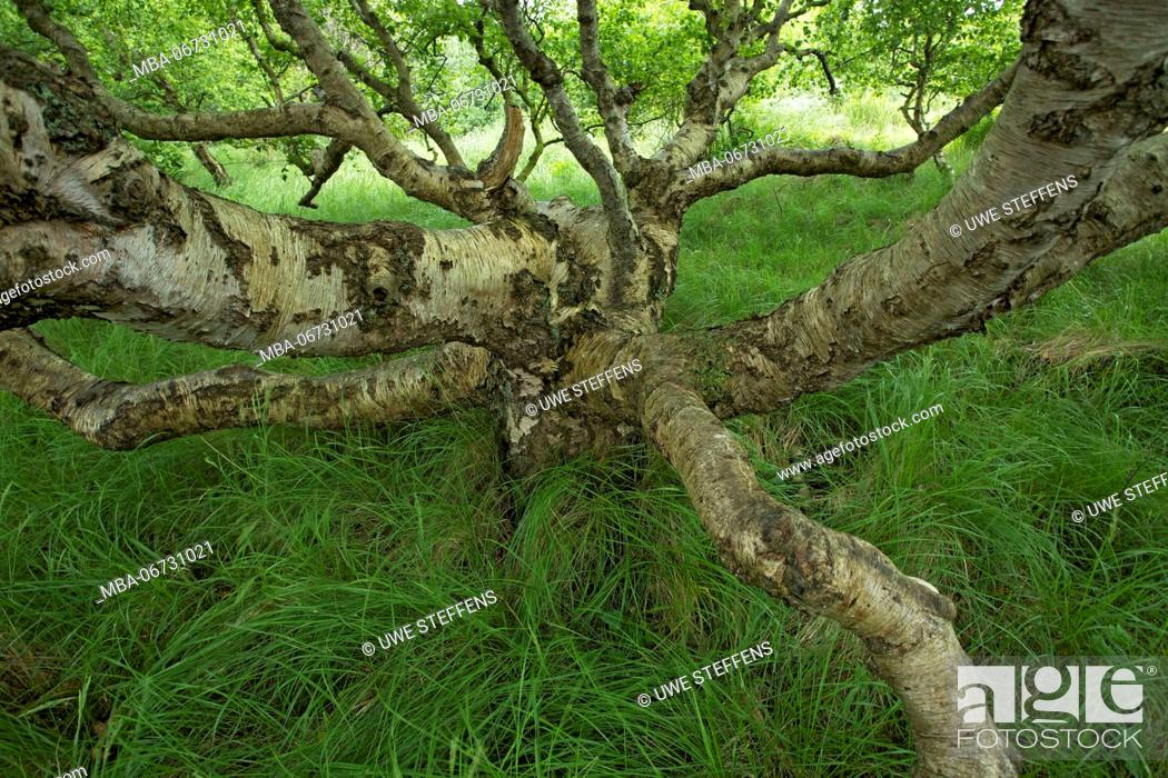 Stock Photo: Krummholz of a birch on the East Frisian island of Baltrum.