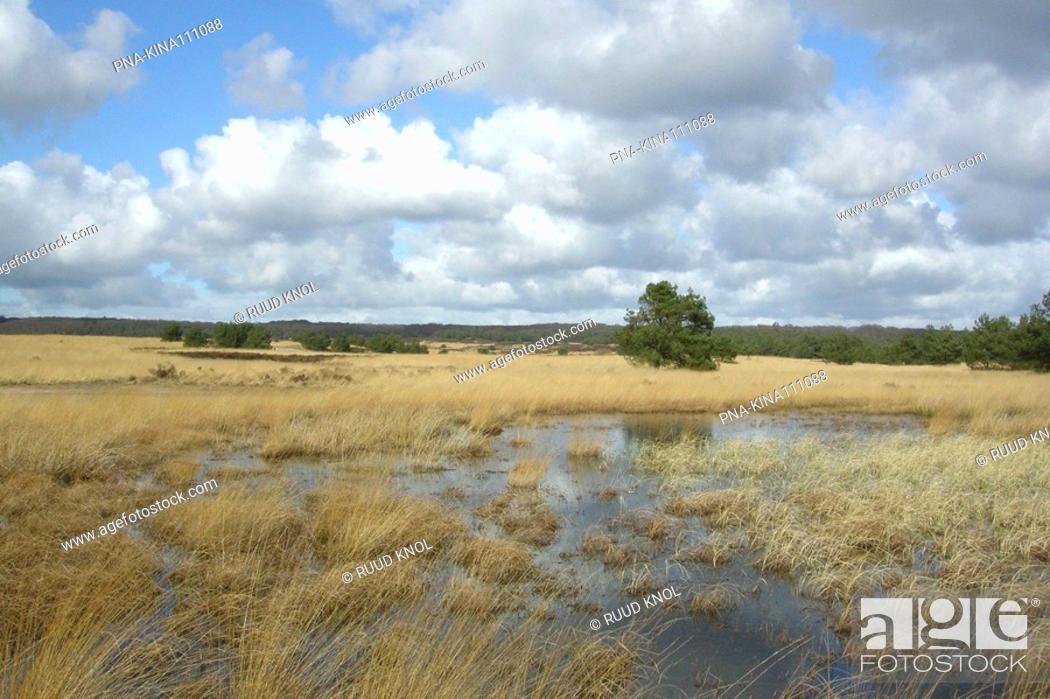Stock Photo: Purple Moor-grass Molinia caerulea - Kroondomein Hoog Soeren, Asselse heide, Veluwe, Guelders, The Netherlands, Holland, Europe.