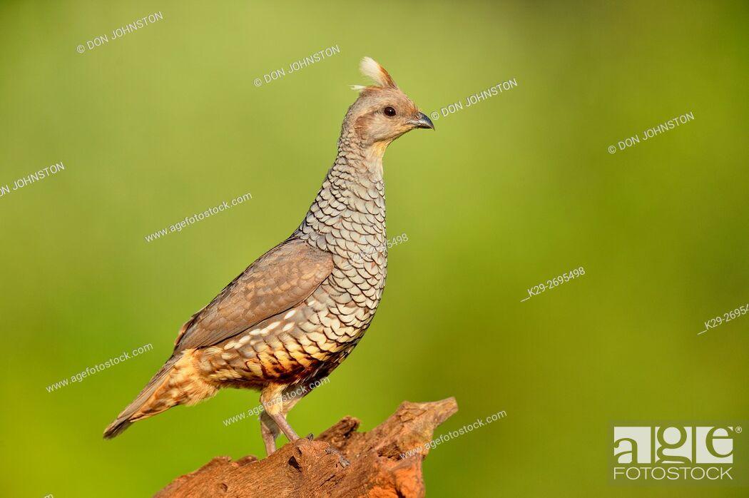 Stock Photo: Scaled quail (Callipepla squamata), Rio Grande City, Texas, USA.