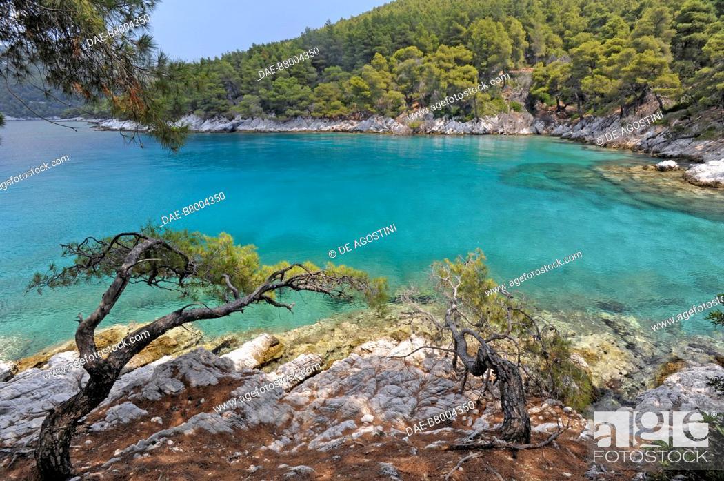 Stock Photo: Aleppo pine (Pinus halepensis) in Cape Amarandos, Skopelos Island, Northern Sporades, Greece.