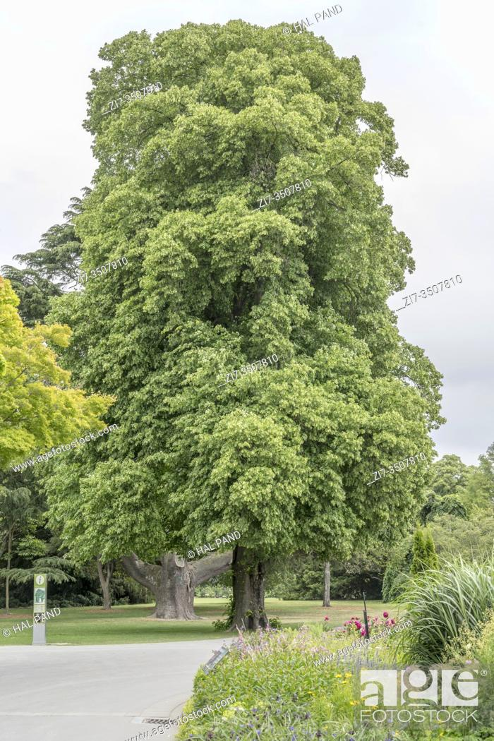 Stock Photo: cityscape with big Linden tree at Botanic Gardens, shot in bright spring light at Christchurch, South Island, New Zealand.