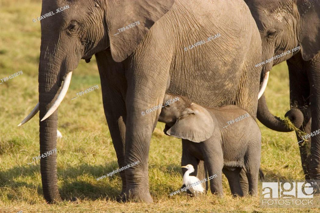 Stock Photo: Elephants (Loxodonta africana). Few weeks old baby elephant and mother.