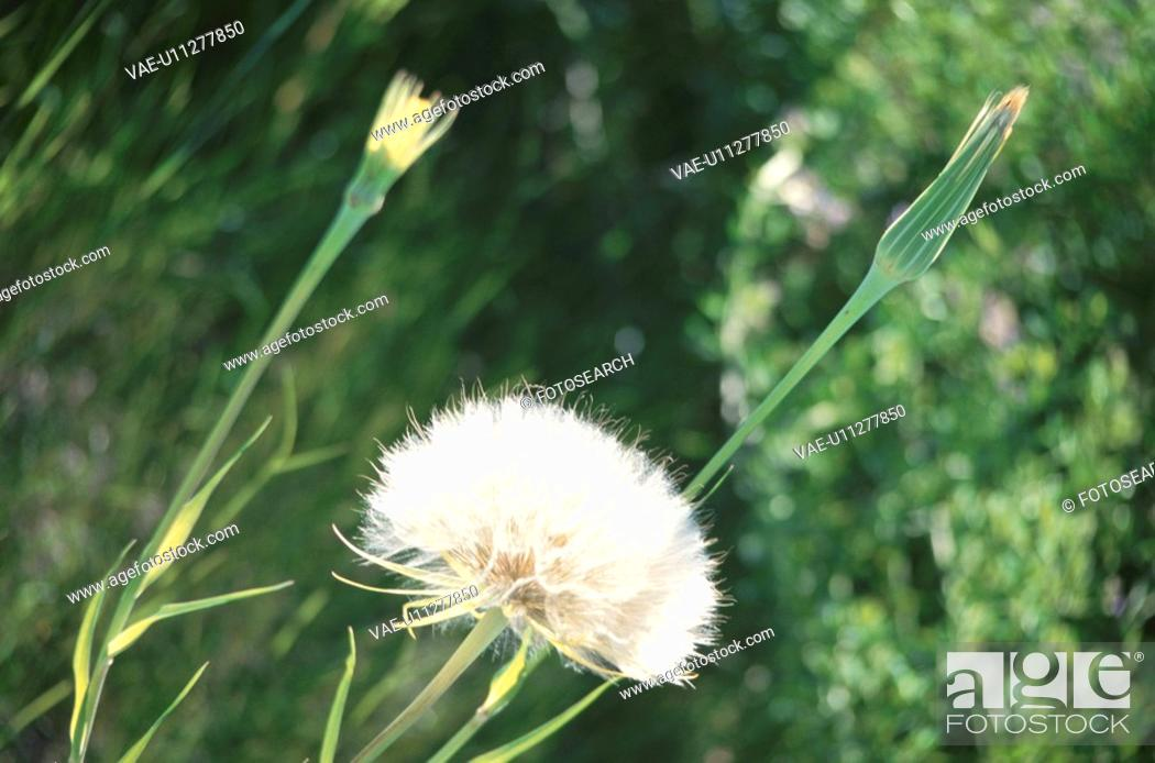 Stock Photo: Dandelions.