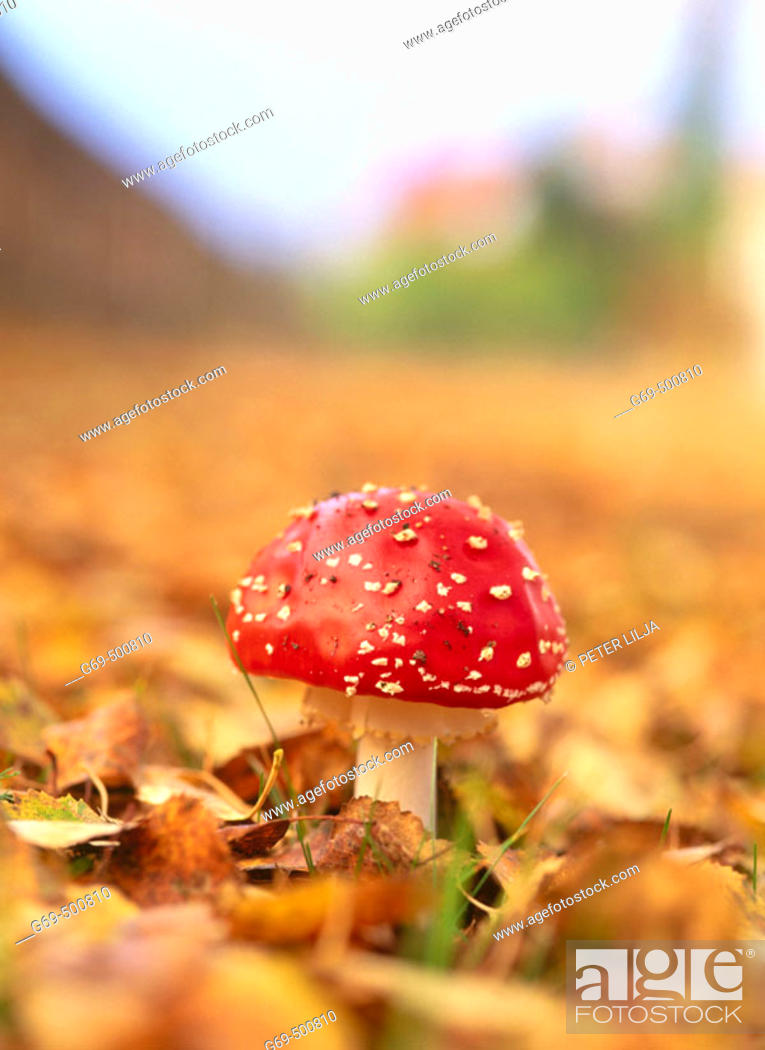 Stock Photo: Fly agaric mushroom (Amanita muscaria). Among some leaves at autumn. Medle. Vasterbotten. Sweden.