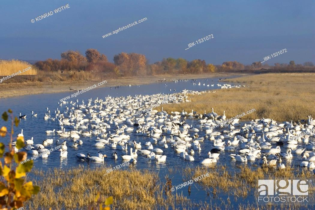 Stock Photo: Snow Geese (Anser caerulescens atlanticus, Chen caerulescens) overwintering, swimming, the Bosque del Apache Wildlife Refuge, New Mexico, USA.