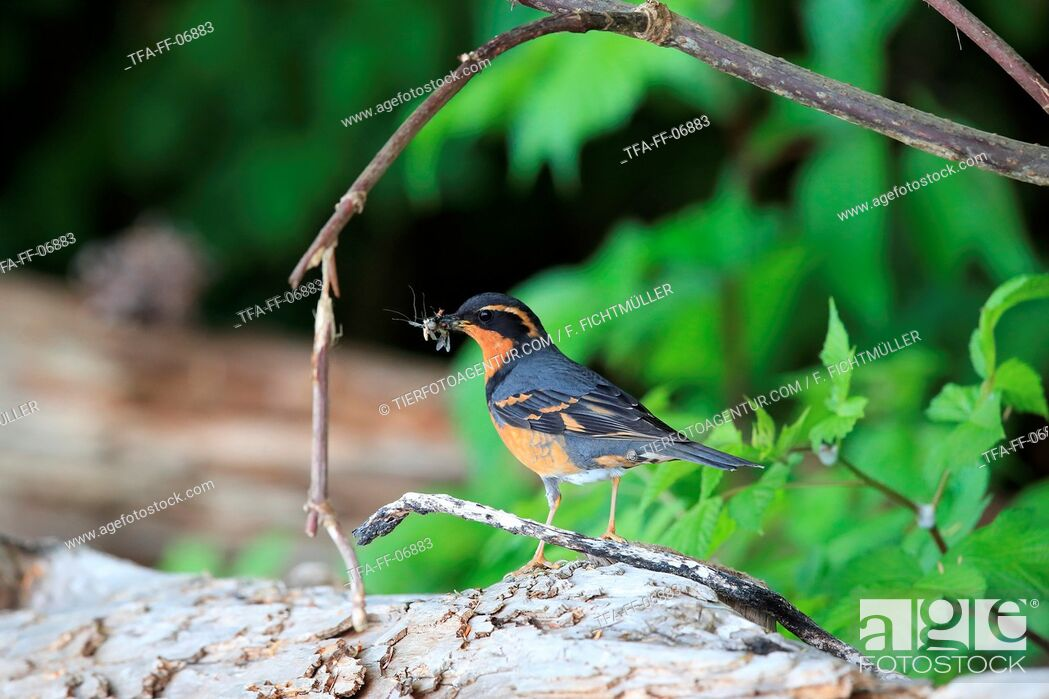 Stock Photo: varied thrush.