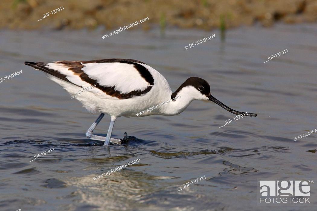Stock Photo: Pied avocet - walking in water / Recurvirostra avosetta.