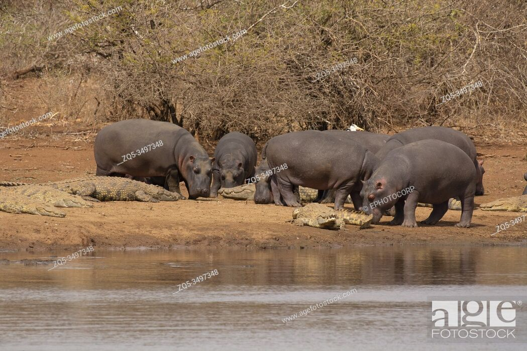 Stock Photo: Hippopotamus Hippopotamus amphibius, Kruger National Park, South Africa.