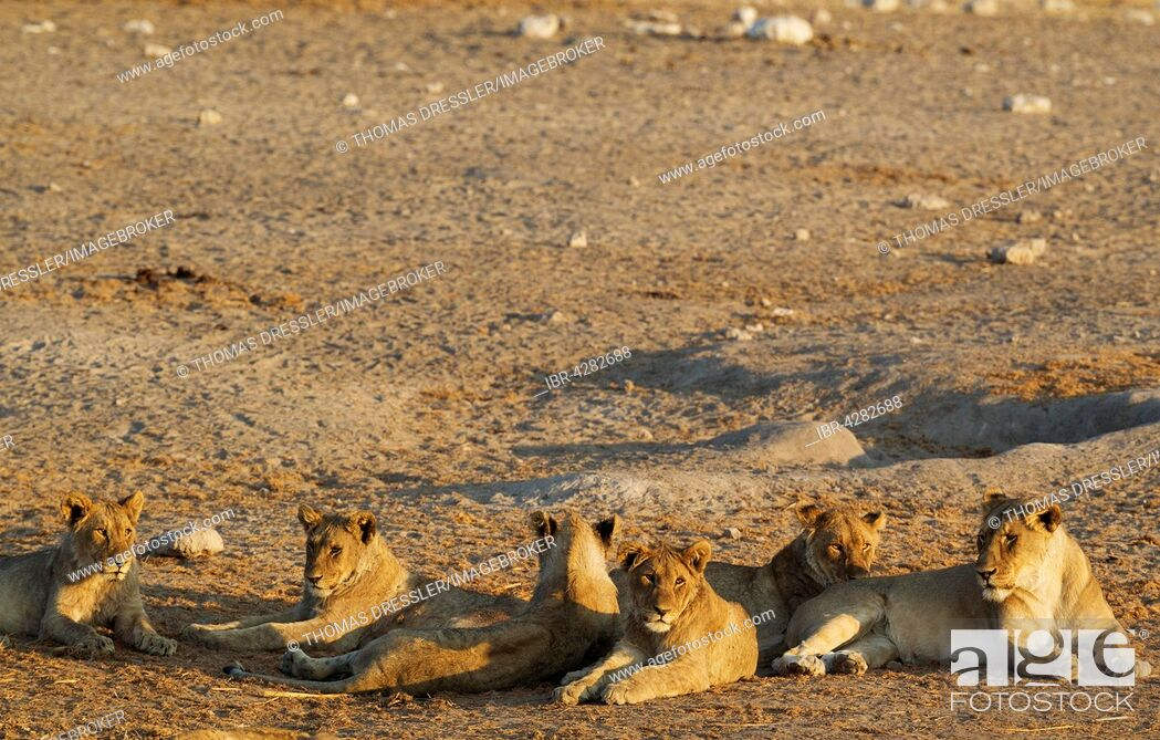 Imagen: Lion (Panthera leo), two females on the right and in the centre and four subadult male cubs resting in the evening, Etosha National Park, Namibia.